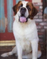 This is Dudley the Saint Bernard, a huge fluffy movie dog from the animal talent agency Performing Animal Troupe. | As an animal actor giant Buck works on movies, television, commercials, photo shoots and other productions. | We have experienced studio dog trainers and wranglers.