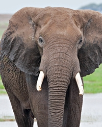 Elephant actor available through animal talent agency Performing Animal Troupe. | We provide trained African and Asian Elephants for movies, television, commercials, photo shoots and other productions. | We have experienced exotic animal trainers and wranglers.