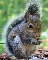 Squirrel actor available through animal talent agency Performing Animal Troupe. | We provide trained squirrels, chipmunks and other woodland animals for movies, television, commercials, photo shoots and other productions. | We have experienced exotic animal trainers and wranglers.