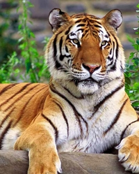 Tiger actor available through animal talent agency Performing Animal Troupe. | We provide trained tigers, cubs and other big cats for movies, television, commercials, photo shoots and other productions. | We have experienced exotic animal trainers and wranglers.