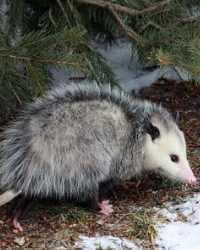 Opossum actor available through animal talent agency Performing Animal Troupe. | We provide possums and other woodland animals for movies, television, commercials, photo shoots and other productions. | We have experienced exotic animal trainers and wranglers.