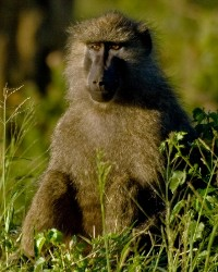 Baboon animal actor available through animal talent agency Performing Animal Troupe. | We provide trained baboons and other primates for movies, television, commercials, photo shoots and other productions. | We have experienced exotic animal trainers and wranglers.