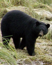Black Bear actor available through animal talent agency Performing Animal Troupe. | We provide trained black bears for movies, television, commercials, photo shoots and other productions. | We have experienced exotic animal trainers and wranglers.