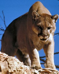 Cougar actor available through animal talent agency Performing Animal Troupe. | We provide cougars, pumas, mountain lions and other big cats for movies, television, commercials, photo shoots and other productions. | We have experienced exotic animal trainers and wranglers.