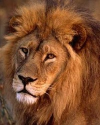 Lion actor available through animal talent agency Performing Animal Troupe. | We provide trained lions, lionesses, cubs and other big cats for movies, television, commercials, photo shoots and other productions. | We have experienced exotic animal trainers and wranglers.