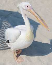 Pelican available through animal talent agency Performing Animal Troupe. | We provide trained pelicans and other ocean birds for television, commercials, photo shoots and other productions. | We have experienced bird trainers, wranglers and falconers.