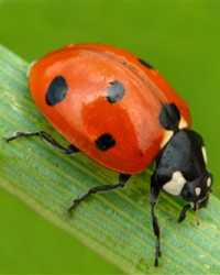 Ladybug available through animal talent agency Performing Animal Troupe. | We provide beetles, ladybugs and other bugs and insects for television, commercials, photo shoots and other productions. | We have experienced bug and insect wranglers.
