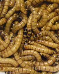 Waworms available through animal talent agency Performing Animal Troupe. | We provide maggots, mealworms, waxworms, larvae, worms and other bugs and insects for television, commercials, photo shoots and productions including Dexter, Bones and Criminal Minds. | We have experienced bug and insect wranglers.
