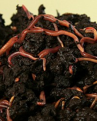 Worms available through animal talent agency Performing Animal Troupe. | We provide maggots, mealworms, waxworms, larvae, worms and other bugs and insects for television, commercials, photo shoots and productions including Dexter, Bones and Criminal Minds. | We have experienced bug and insect wranglers.