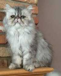 Bennie the silver Persian cat actor is from the animal talent agency Performing Animal Troupe. | This fluffy trained cat works on movies, television, commercials, photo shoots and other productions. | We have experienced studio cat trainers and wranglers.