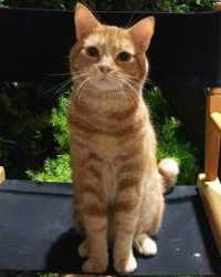 Dexter the orange tabby cat actor is from the animal talent agency Performing Animal Troupe. | This trained ginger striped acting cat works on movies, television, commercials, photo shoots and other productions like Bones and Dexter. | We have experienced studio cat trainers and wranglers.