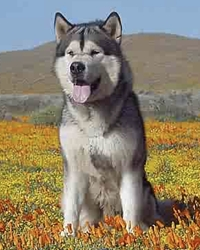 This is Kwin the Alaskan Malamute, a fluffy movie dog from the animal talent agency Performing Animal Troupe. | As an animal actor Kwin works on movies, television, commercials, photo shoots and other productions. | Kwin is a working sled-dog and loves the snow. | We have experienced studio dog trainers and wranglers.
