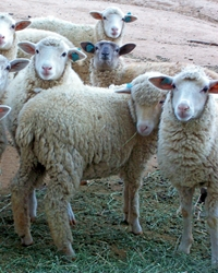 Sheep available through animal talent agency Performing Animal Troupe. | We provide Sheep, lambs and sheep herds for movies, television, commercials, photo shoots and other productions. | We have experienced livestock trainers, wranglers and herders.