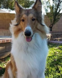 This is Skyler the Collie, a fluffy movie dog from the animal talent agency Performing Animal Troupe. | As an animal actor Skyler works on movies, television, commercials, photo shoots and other productions.  | Trevor looks like the character Lassie. | We have experienced studio dog trainers and wranglers.