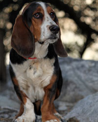 This is Ernie the Bassett Hound, a droopy movie dog from the animal talent agency Performing Animal Troupe. | As an animal actor Ernie the hound dog works on movies, television, commercials, photo shoots and other productions. | We have experienced studio dog trainers and wranglers.