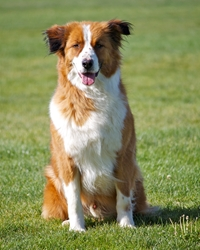 This is Casey the English Shepherd, a fluffy movie dog from the animal talent agency Performing Animal Troupe. | As an animal actor Casey works on movies, television, commercials, photo shoots and other productions. | We have experienced studio dog trainers and wranglers.