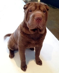This is Chloe the Sharpei, a movie dog from the animal talent agency Performing Animal Troupe. | As an animal actor Chloe the wrinkle dog works on movies, television, commercials, photo shoots and other productions. | We have experienced studio dog trainers and wranglers.