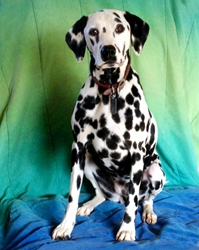 This is Dottie the Dalmatian, a spotted movie dog from the animal talent agency Performing Animal Troupe. | As an animal actor Dottie works on movies, television, commercials, photo shoots and other productions. | We have experienced studio dog trainers and wranglers.