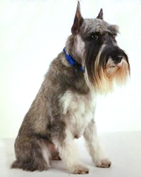 This is Jazz the Schnauzer, a movie dog from the animal talent agency Performing Animal Troupe. | As an animal actor Jazz works on movies, television, commercials, photo shoots and other productions. | We have experienced studio dog trainers and wranglers.