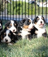 Trained bernese mountain puppies available through animal talent agency Performing Animal Troupe. | We provide puppies and dog animal actors for television, commercials, photo shoots and other productions. | We have experienced puppy trainers and wranglers.