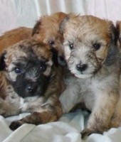 Trained fluffy wheaton terrier puppies available through animal talent agency Performing Animal Troupe. | We provide puppies and dog animal actors for television, commercials, photo shoots and other productions. | We have experienced puppy trainers and wranglers.