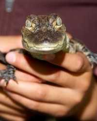 Baby gator available through animal talent agency Performing Animal Troupe. | We provide alligators, crocodiles and other reptiles for movies, television, commercials, photo shoots and other productions. | We have experienced reptile wranglers and handlers.