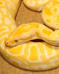 Python available through animal talent agency Performing Animal Troupe. | We provide boas, pythons, anacondas and other large snakes for movies, television, commercials, photo shoots and other productions. | We have experienced and safe snake wranglers and handlers.