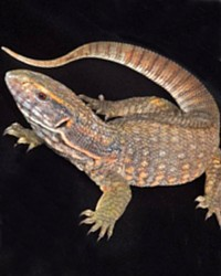 Monitor available through animal talent agency Performing Animal Troupe. | We provide monitor lizards and other reptiles for movies, television, commercials, photo shoots and other productions. | We have experienced reptile wranglers and handlers.
