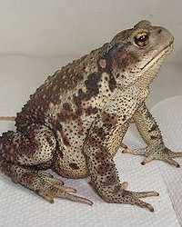 Toad available through animal talent agency Performing Animal Troupe. | We provide frogs, toads and other amphibians and reptiles for movies, television, commercials, photo shoots and other productions. | We have experienced reptile wranglers and handlers.