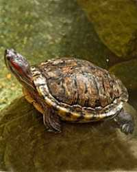 Turtle available through animal talent agency Performing Animal Troupe. | We provide turtles, tortoises and other reptiles for movies, television, commercials, photo shoots and other productions. | We have experienced reptile wranglers and handlers.