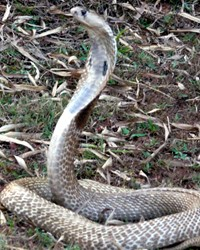 Cobra available through animal talent agency Performing Animal Troupe. | We provide rattlers, vipers, cobras and other venomous snakes for movies, television, commercials, photo shoots and other productions. | We have experienced and safe poisonous snake wranglers and handlers