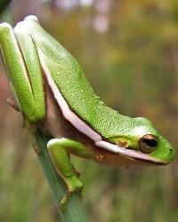 Frog available through animal talent agency Performing Animal Troupe. | We provide frogs, toads and other amphibians and reptiles for movies, television, commercials, photo shoots and other productions. | We have experienced reptile wranglers and handlers.