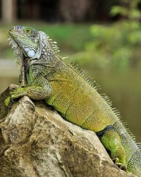 Iguana available through animal talent agency Performing Animal Troupe. | We provide Iguanas and other reptiles for movies, television, commercials, photo shoots and other productions. | We have experienced reptile wranglers and handlers.